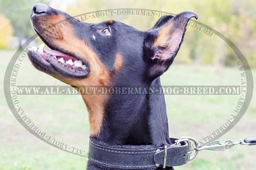 Leather Doberman collar with padding