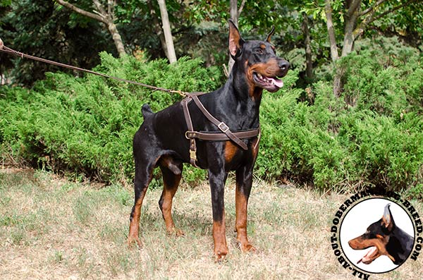 Practical Doberman harness for training, tracking and pulling