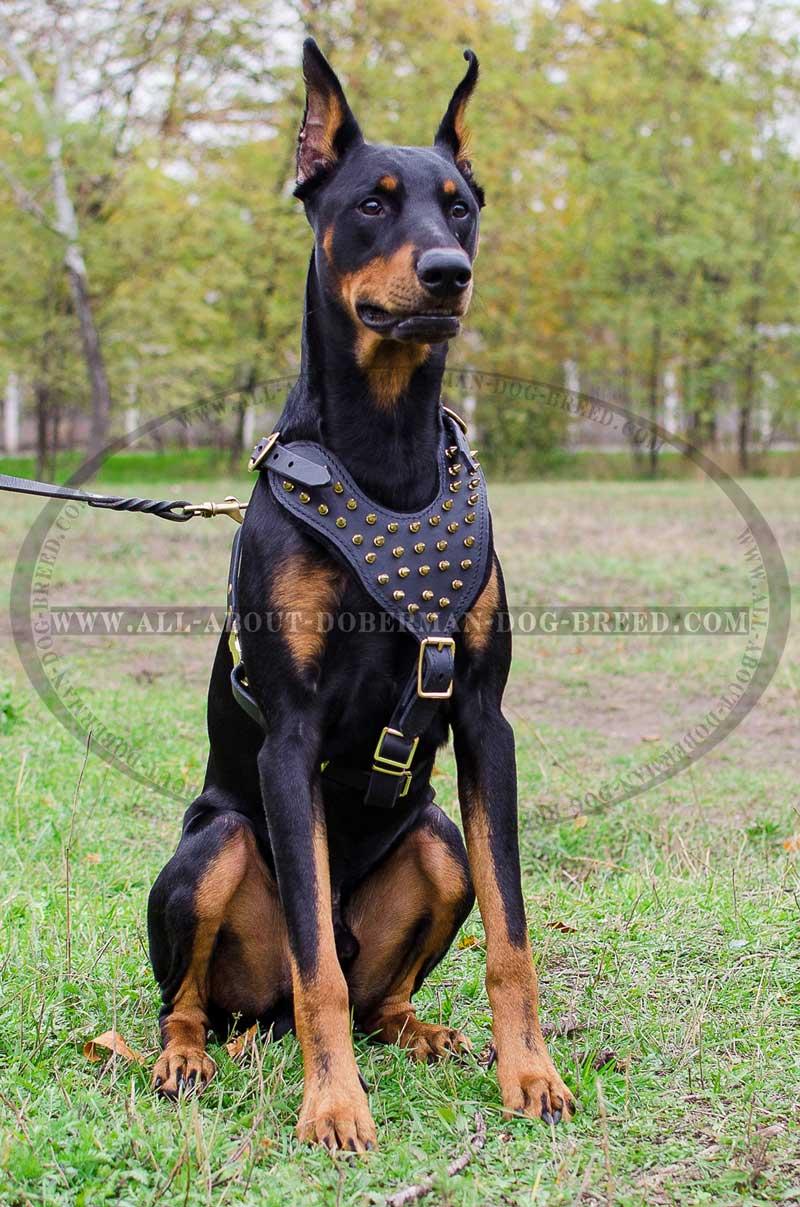 Buy Adjustable Spiked Leather Dog Harness Doberman