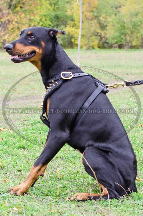 Adjustable leather straps for extra comfort of your Doberman