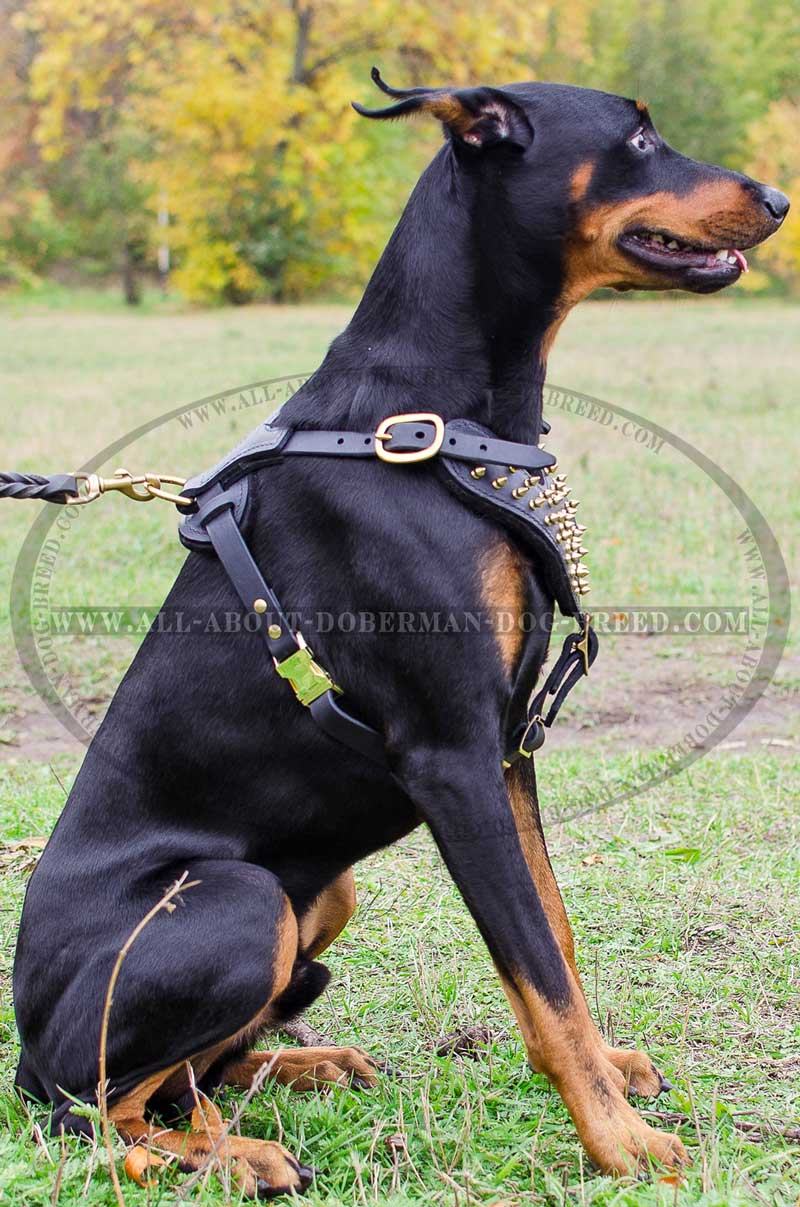 how to train a doberman to walk on a leash