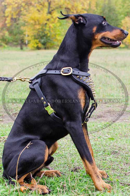 Walking soft leather Doberman harness
