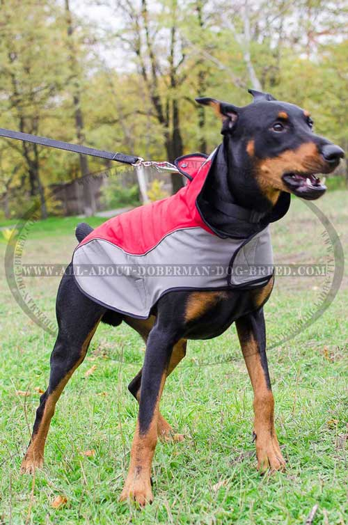 Nylon Doberman winter coat with a D-ring