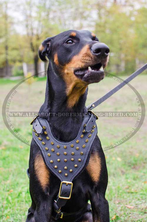 Soft padded leather Doberman harness