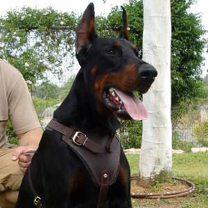 Doberman Deluxe Leather dog harness for