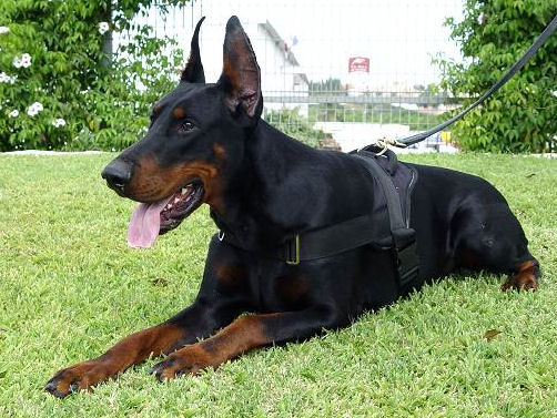 Leads And Collars For Big Breeds Of Dogs