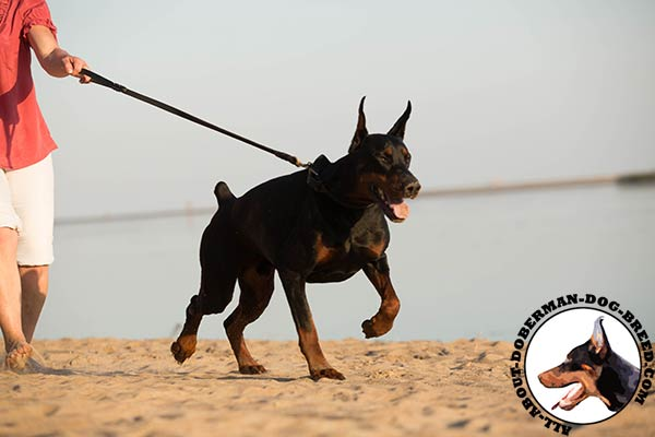 Doberman leather leash of lightweight material with brass plated hardware for better comfort
