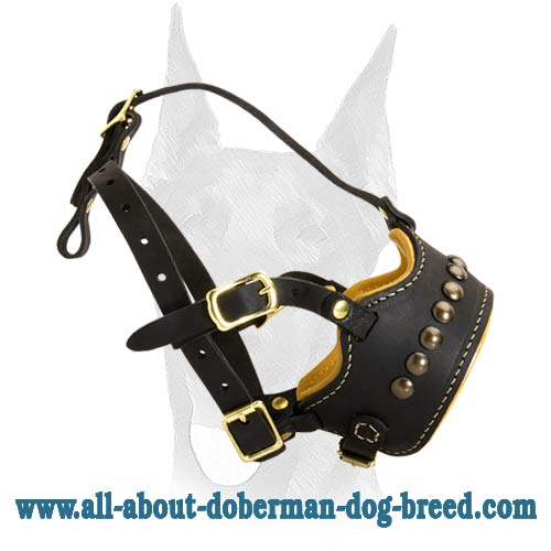 Comfortable decorated Doberman muzzle