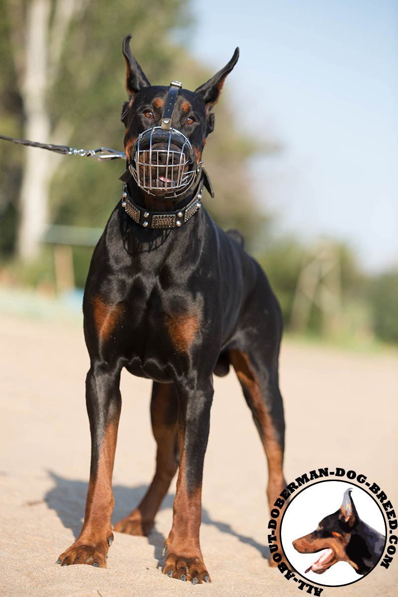 Dog Walking Muzzle Pinscher
