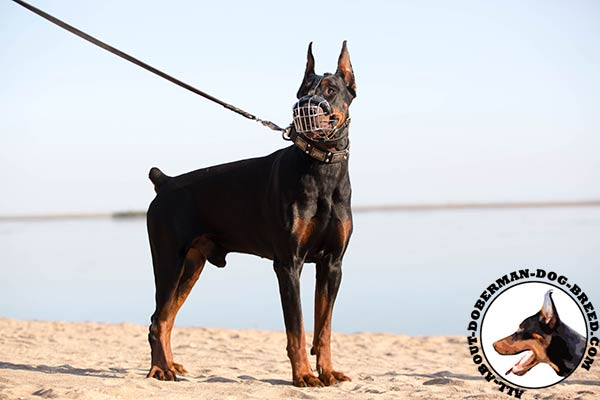 Doberman wire basket muzzle with rust-proof hardware for daily activity
