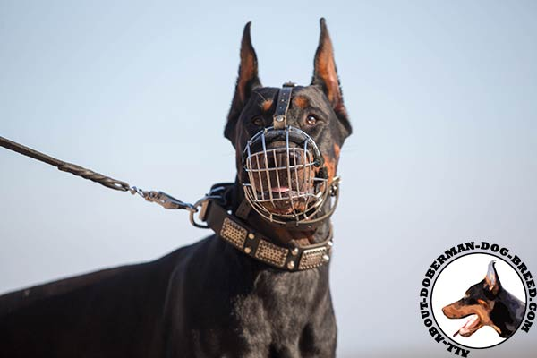 Perfect Doberman muzzle with nose padding