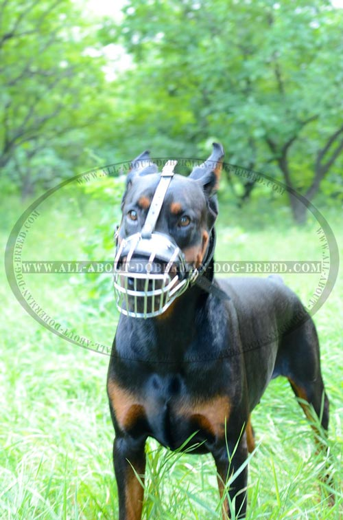 Training extra light weight Doberman muzzle