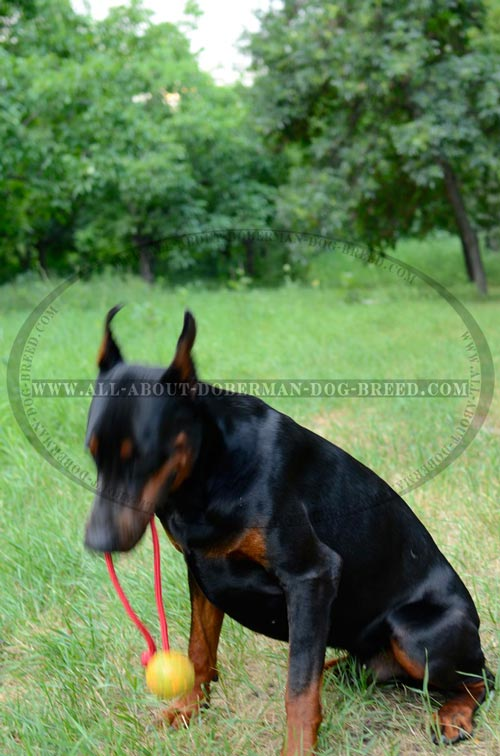 High quality rubber ball on a rope for Doberman