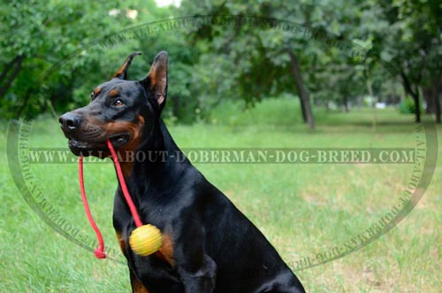 Doberman dog toy of full rubber on a rope